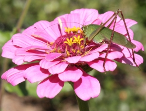 Green katydid eating pollen off of a pink zinnia